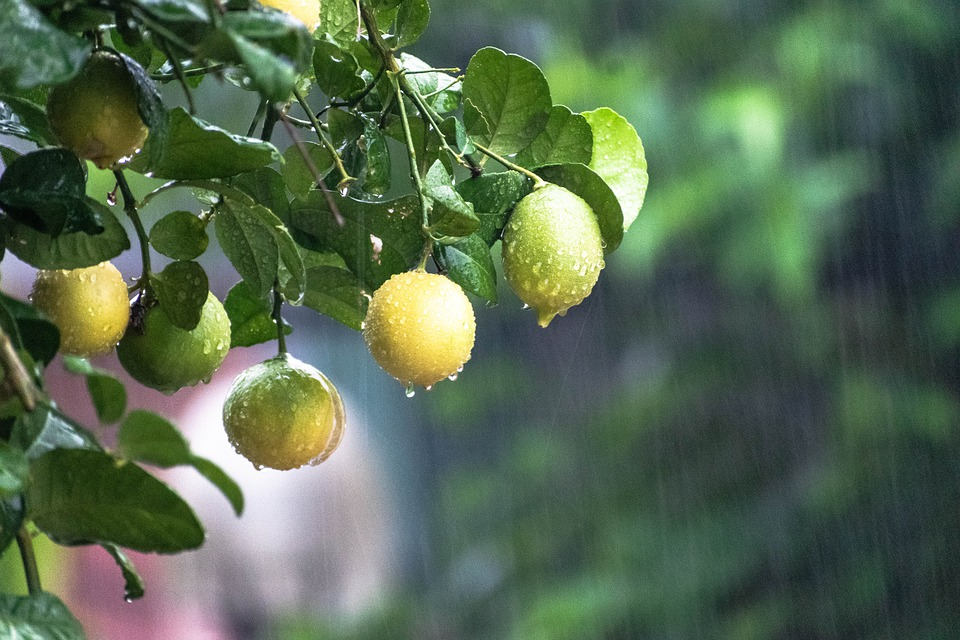Raining, Tree, Citrus Fruits, Lemon, Nature, Rain