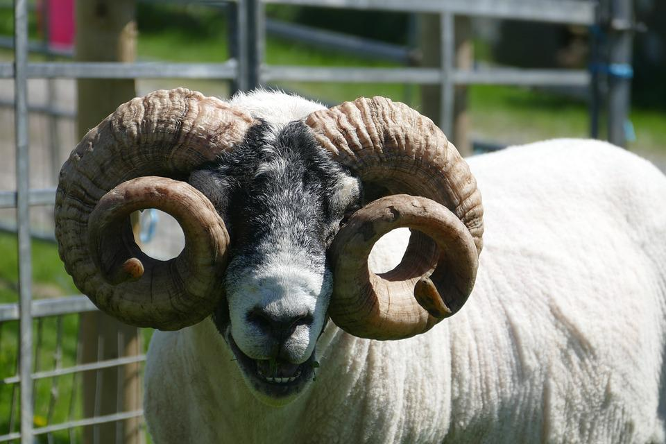 Farm, Sheep, Mammal, Livestock, Agriculture, Ram