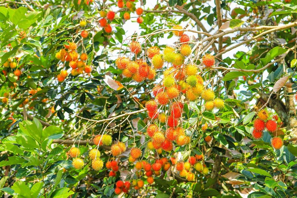 Fruits, Rambutan, Fresh