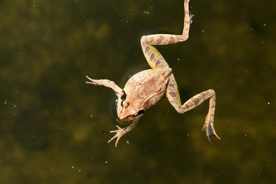 Swamp Frog, Rana Arvalis, Frog, Amphibian, Tailless
