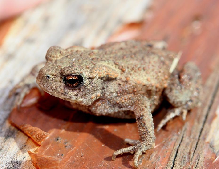 Common Frog, Rana Temporaria, Frog, Animals, Amphibian