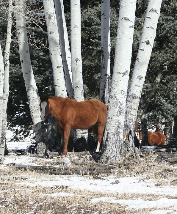 Horses, Aspen, Ranch Horses, Winter, Snow