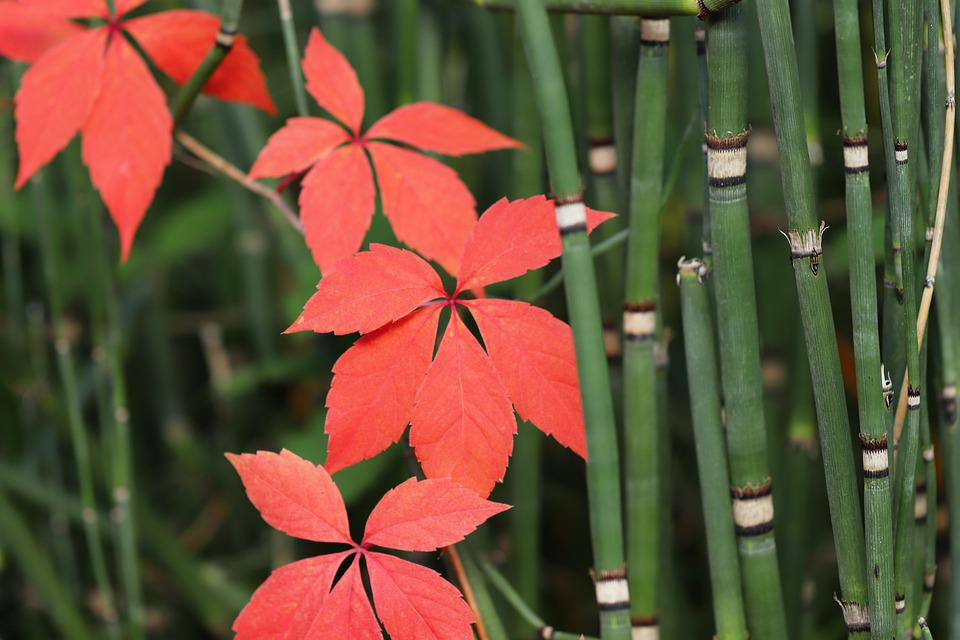Vine Leaves, Rank Plant, Red, Fall Color, Bamboo