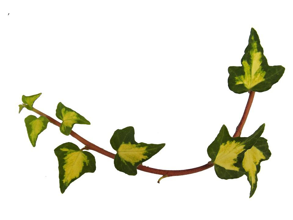Ivy, Ranke, Autumn Decoration, Autumn, Decoration