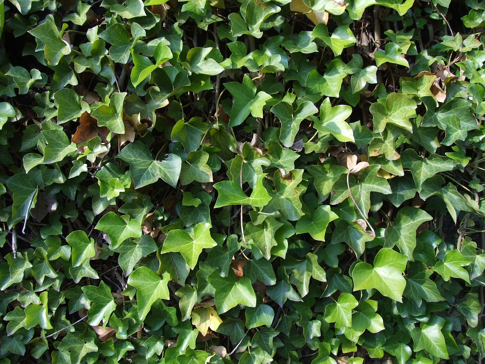 Ivy, Leaves, Climber, Ivy Leaves, Ranke, Texture, Wall