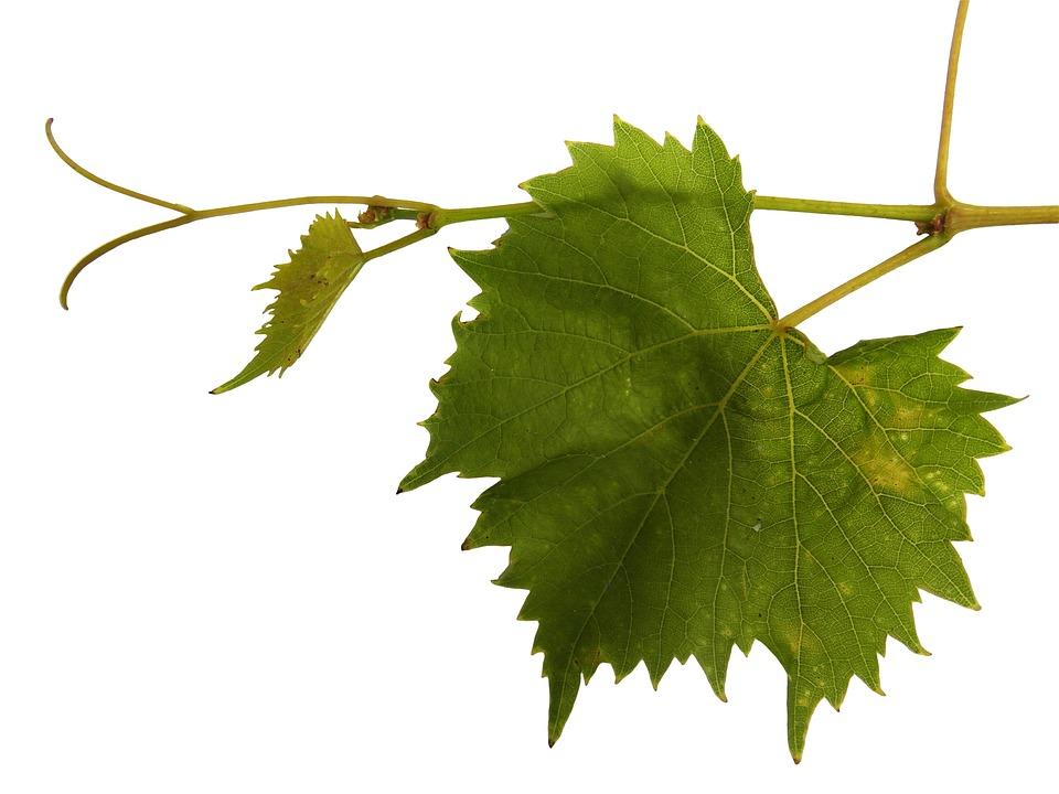 Grapevine, Vine, Ranke, Wine, Wine Leaf, Leaf
