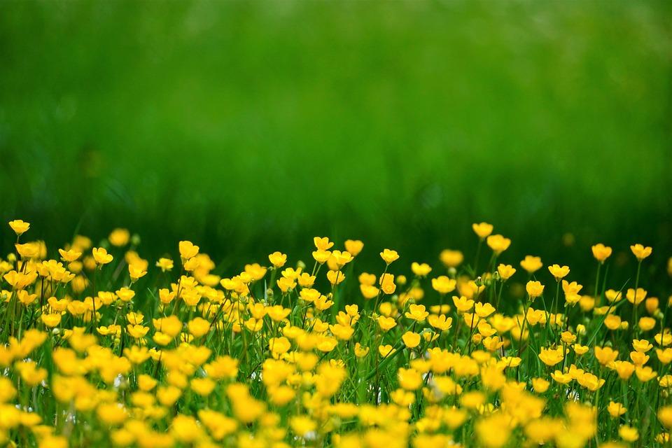 Ranunculaceae, Flowers, Meadow, Yellow, Blossom, Bloom