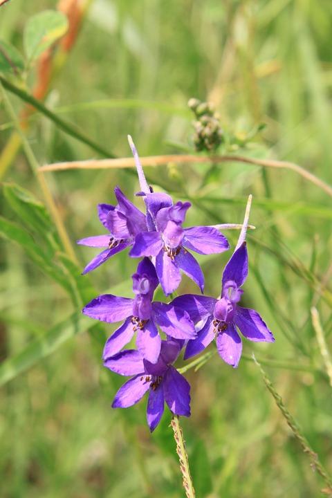 Buttercup, Consolida, Flowers, Ranunculaceae, Regalis