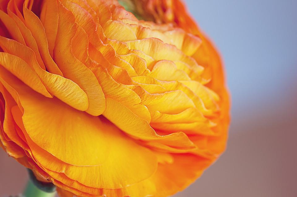 Ranunculus, Flower, Blossom, Bloom, Orange
