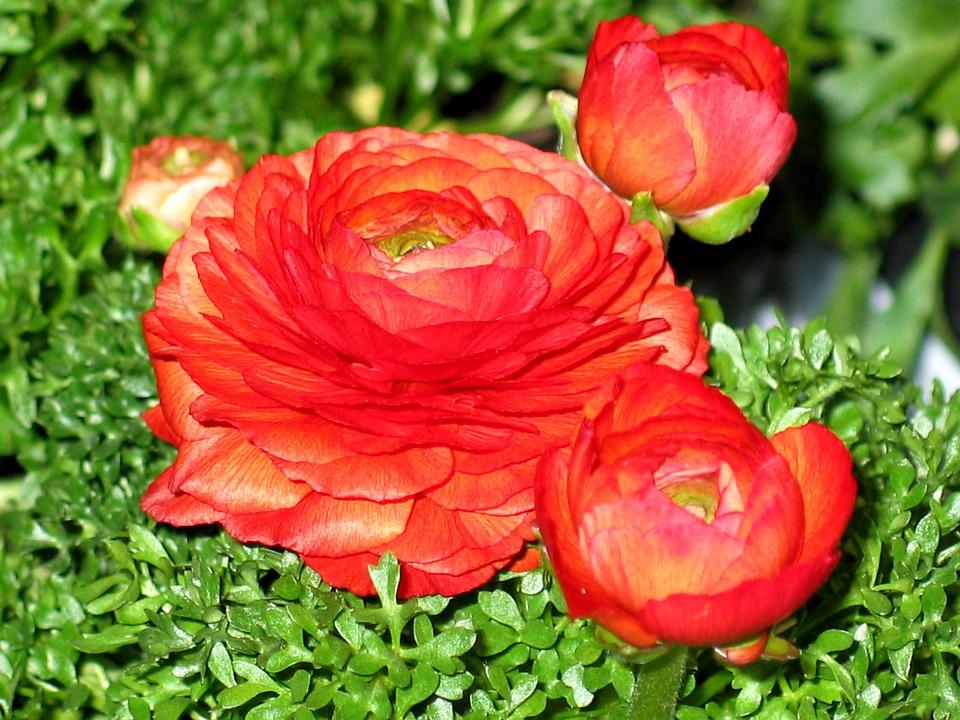 Ranunculus, Flowers, Flower, Spring, Nature, Bright