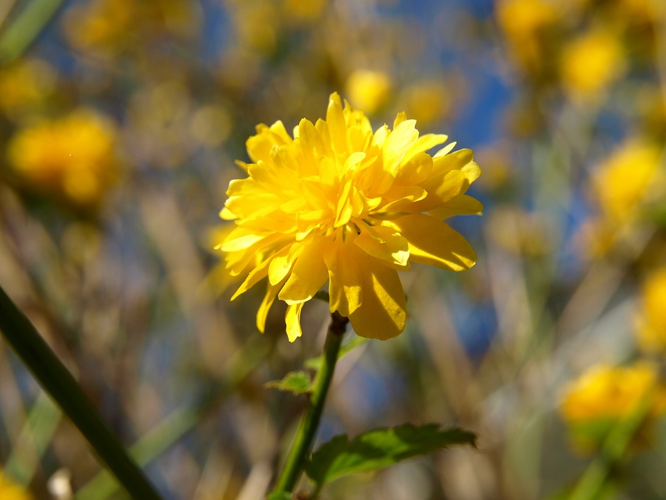 Free photo ranunkel shrub yellow bloom ranunculus bush flower max ranunculus bush flower yellow ranunkel shrub bloom mightylinksfo