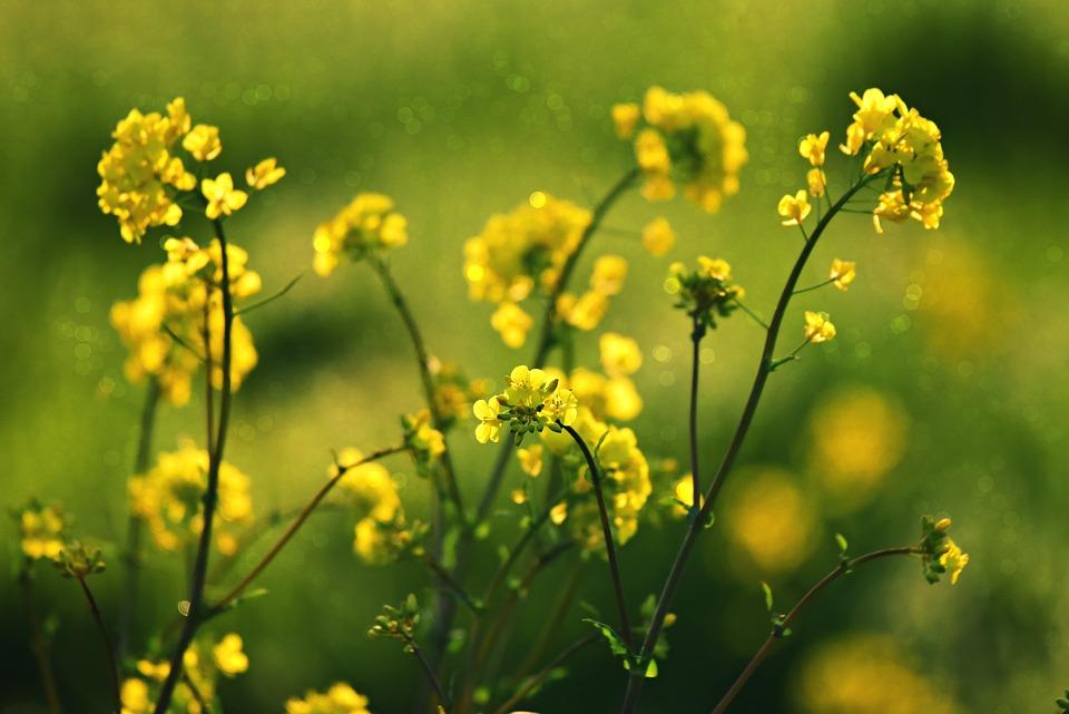 Rape Seed, Flower, Plant, Blossom, Field, Meadow, Rural