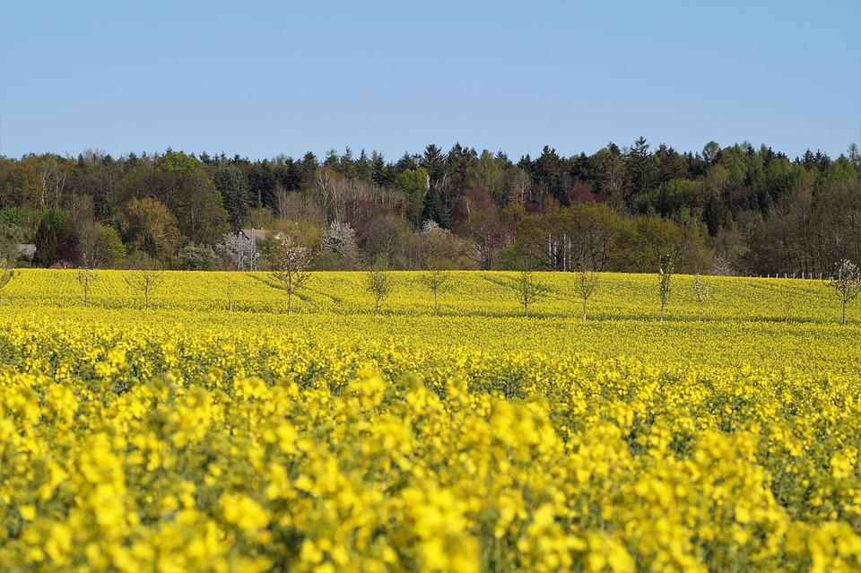Field, Rape, Yellow, Rapeseed, Agriculture, Spring