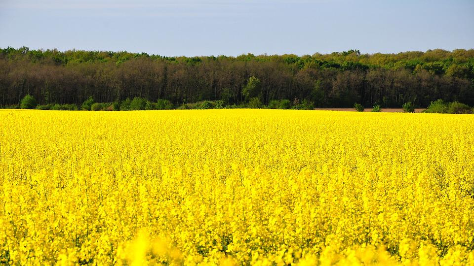 Rape, Spring, Canola Field, Yellow, Nature