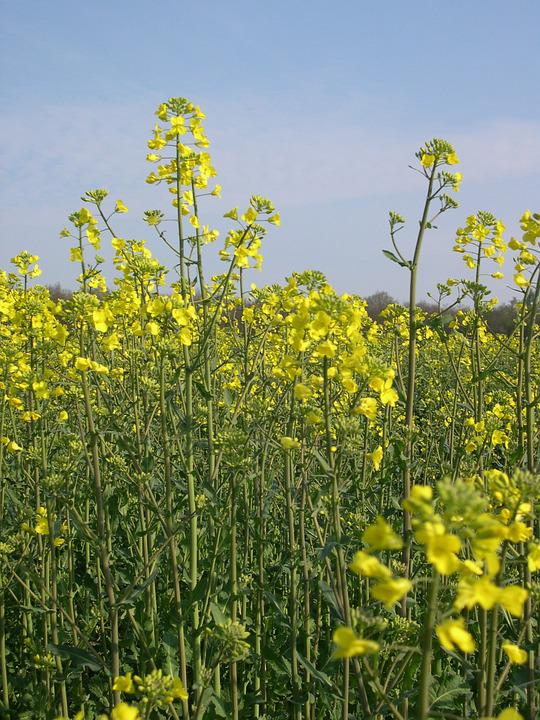 Rapeseed, Arable Farming, Agriculture, Field