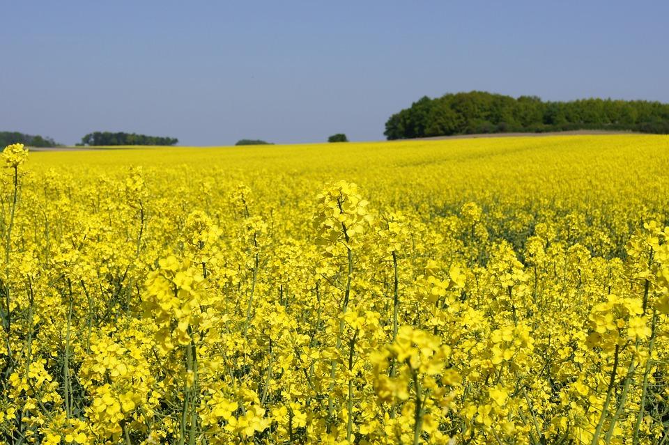 Oilseed Rape, Field, Field Of Rapeseeds, Rapeseed Oil