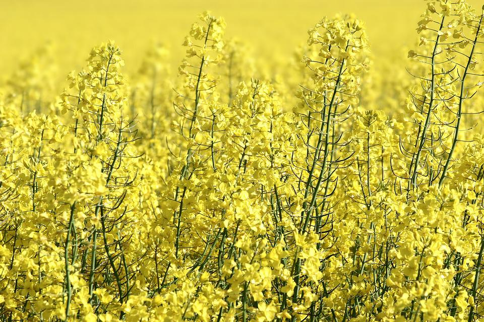 Rapeseed, Field, Yellow, Blooming