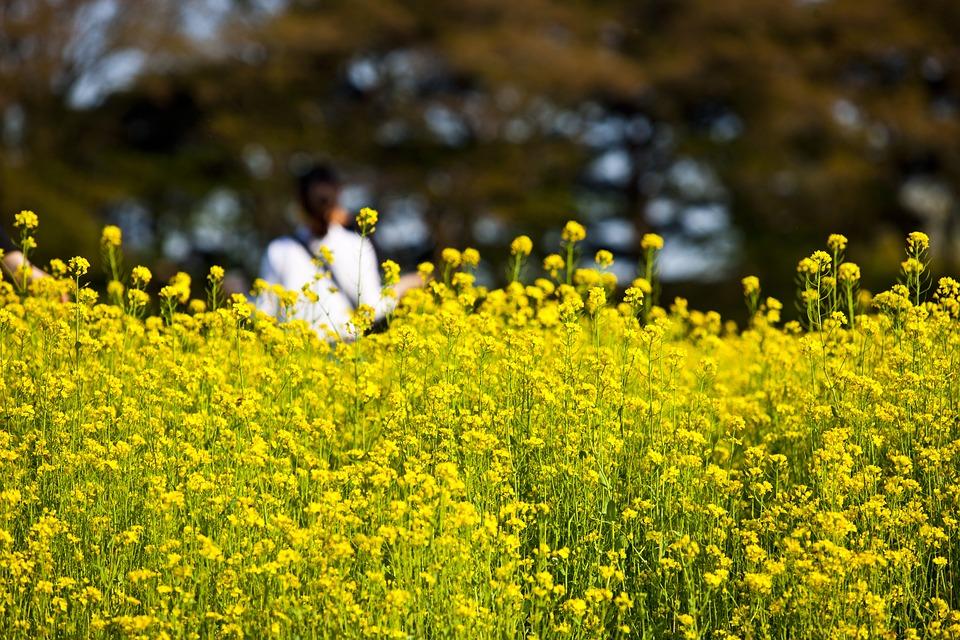 Rape Flowers, Rapeseed, Racing, Yellow