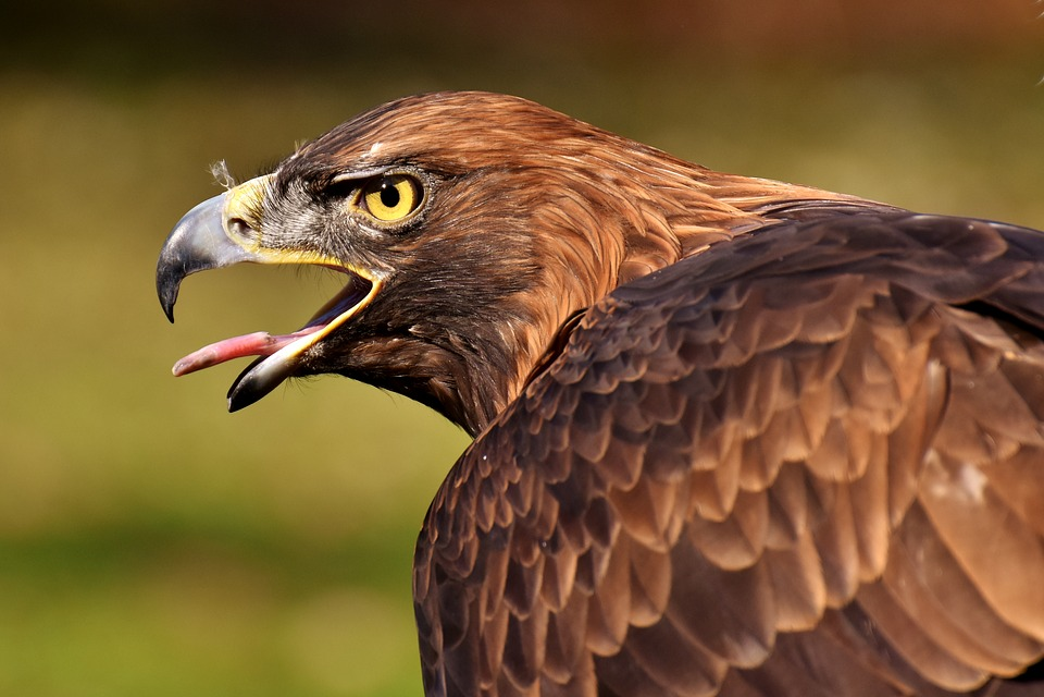 Adler, Raptor, Bird Of Prey, Animal, Bill