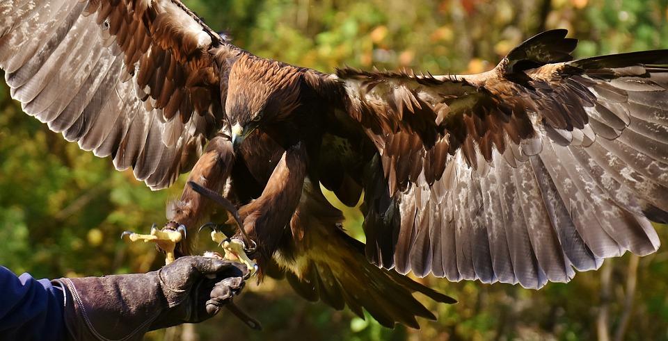 Adler, Raptor, Bird Of Prey, Animal, Fly, Noble, Flight
