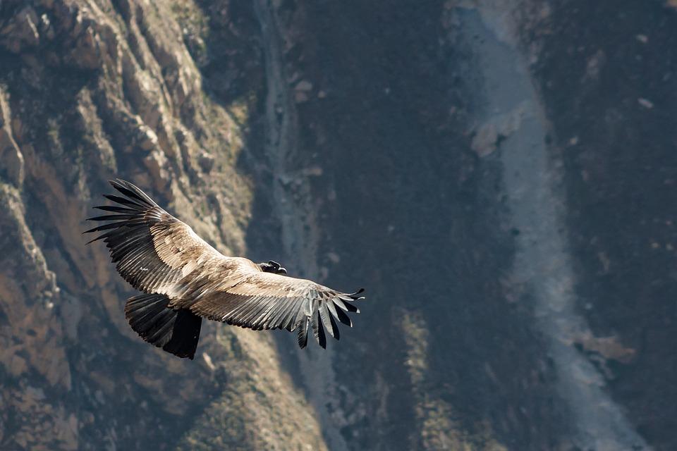 Condor, Peru, Andean Condor, Bird, From Above, Raptor