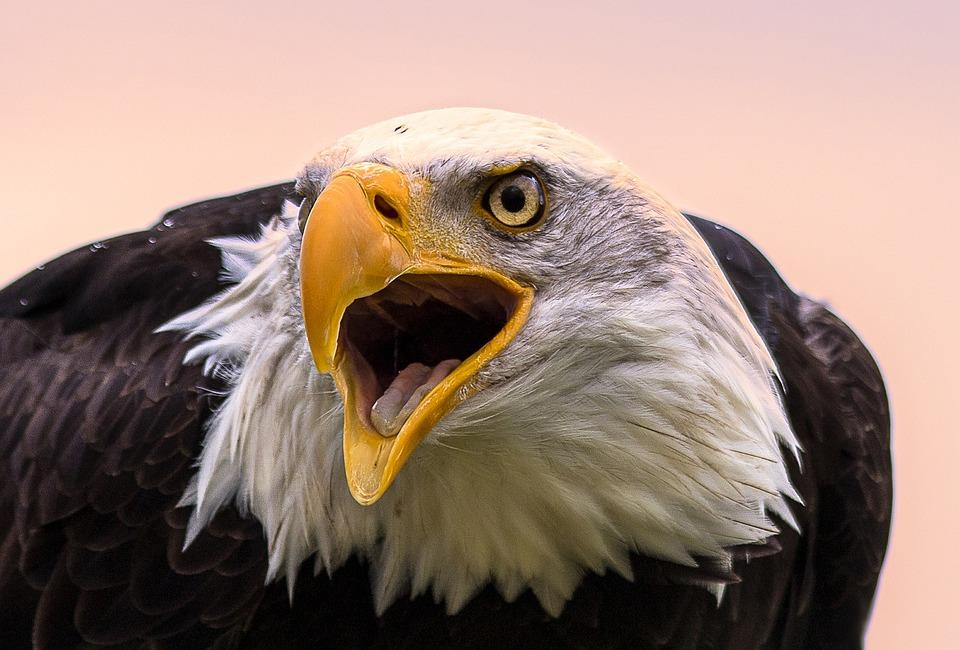 Bald Eagle, Bird, Bird Of Prey, Raptor, Animal