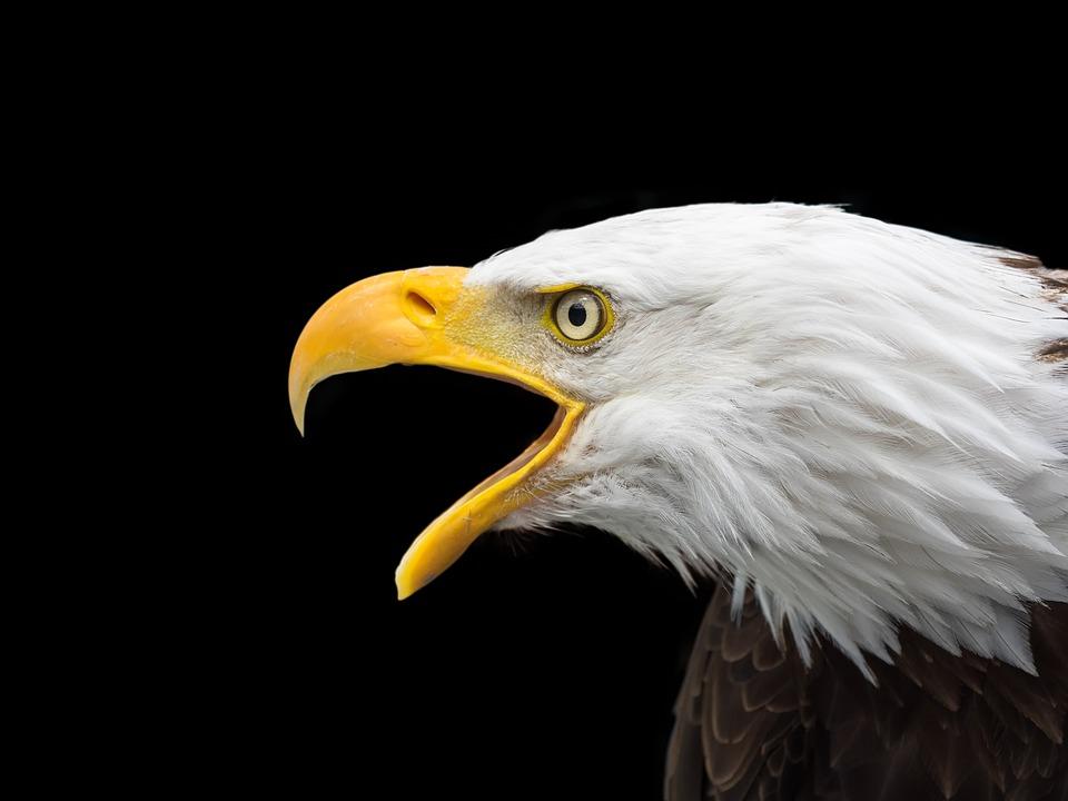 Bald Eagle, Raptor, Head, Close Up, Adler, Bird Of Prey