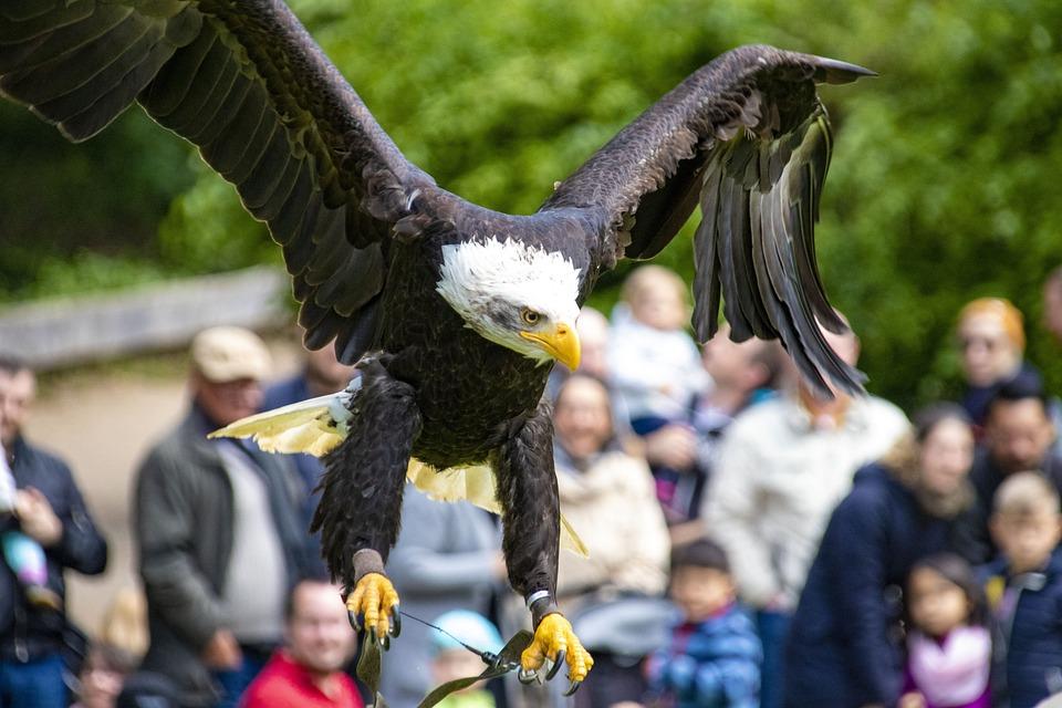 Adler, Raptor, Bird, Bird Of Prey, Bald Eagle, Plumage