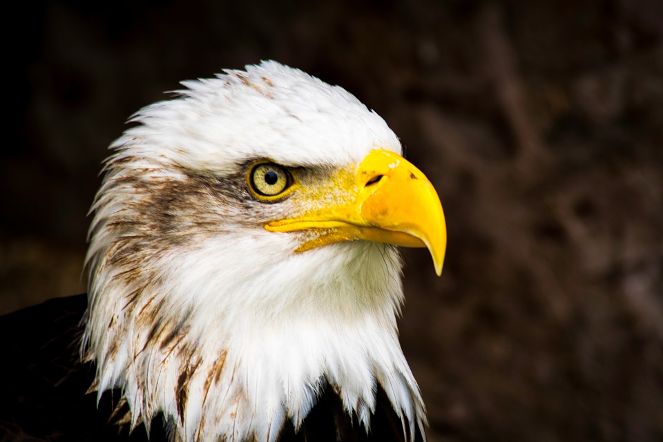 Bald Eagle, Bird Of Prey, Eagle, Raptor, American, Beak
