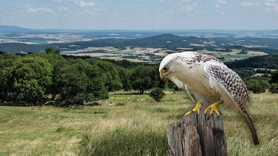 Raptor, Falconry, Bird Of Prey, Fly, Portrait, Graceful