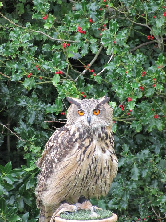 Eagle Owl, Owl, Bird, Raptor, Bird Of Prey