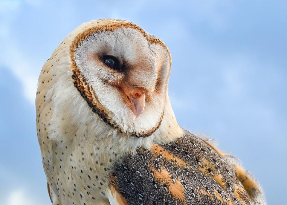 Owl, Bird, Raptor, Animal, Fauna, Closeup