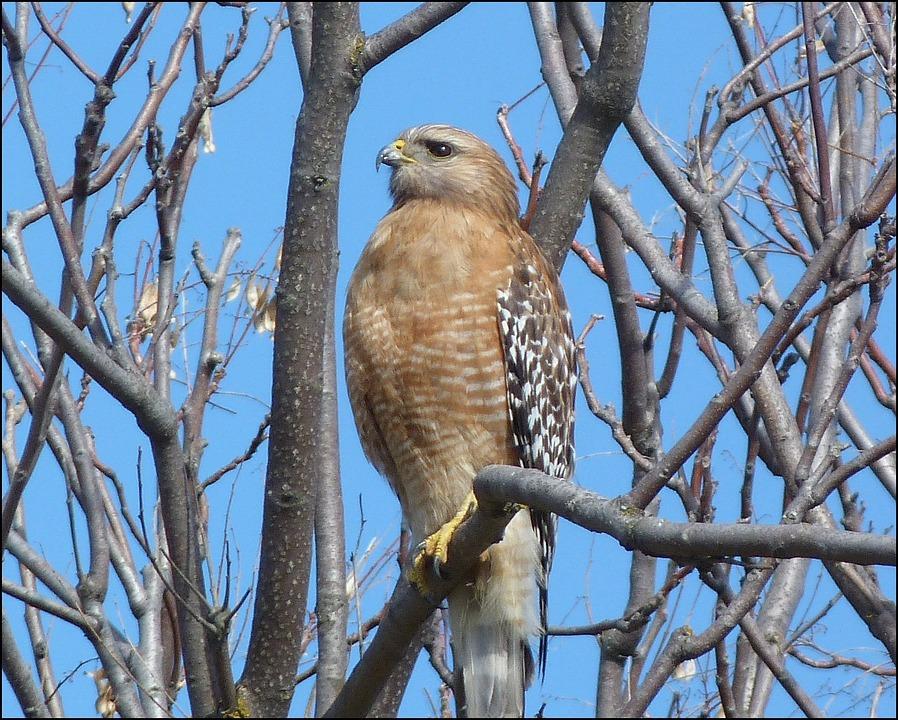 Hawk, Bird, Tree, Raptor, Predator, Wildlife, Hunter
