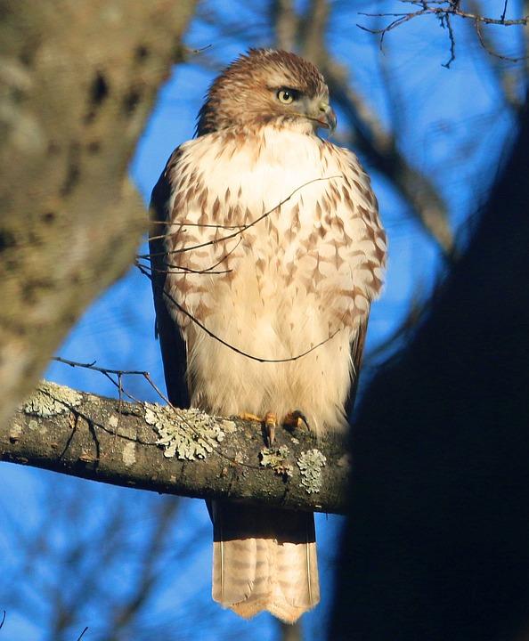 Hawk, Sharp Shinned, Mean, Raptor, Wildlife, Bird