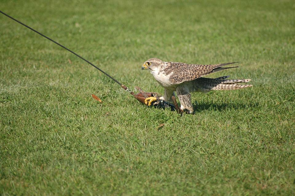 Falcon, Raptors, Falconry