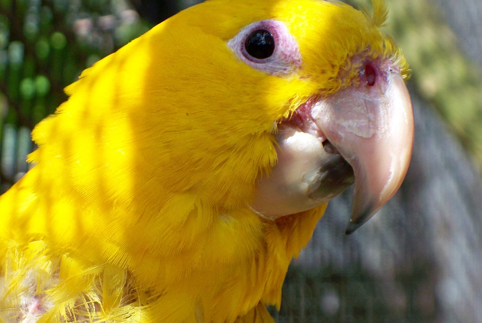 Macaw, Rare, Bird, Chile, Yellow, Beak, Eye, Face