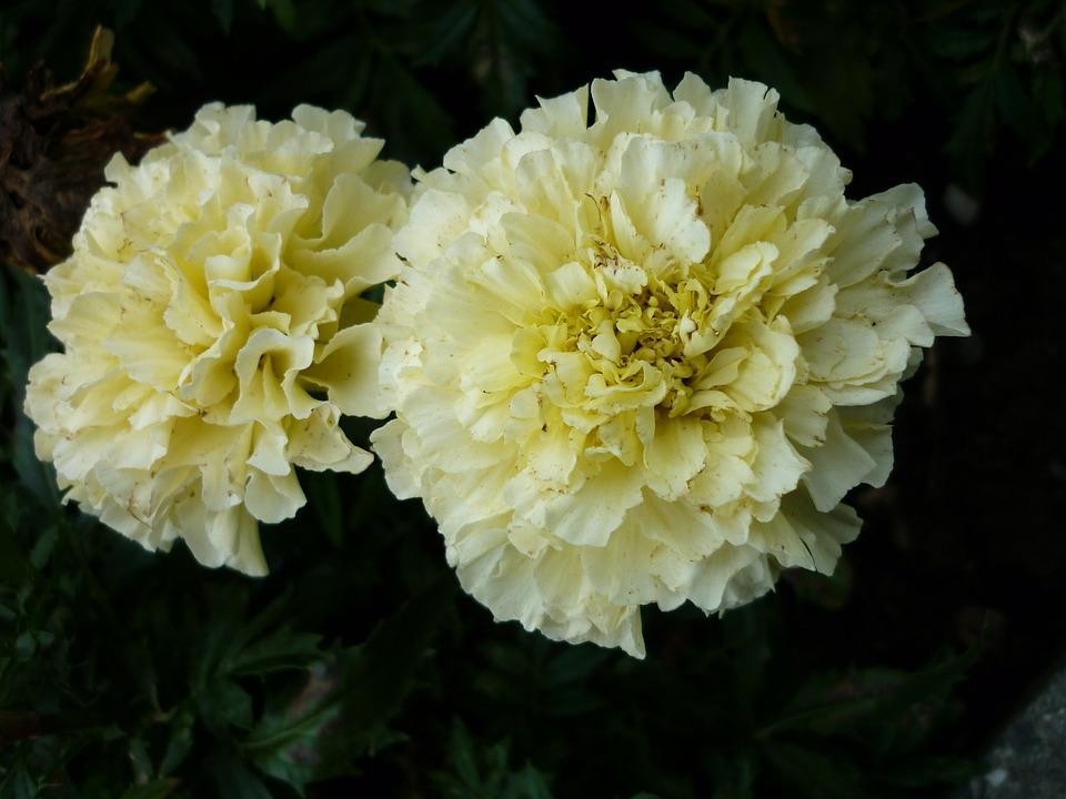 Marigold Nature Flowers White Rare Color
