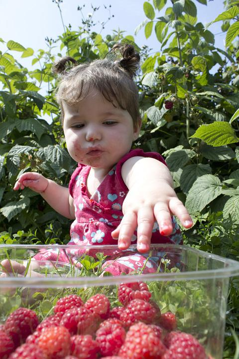 Child, Raspberries, Picking, Pick Your Own, Fruit
