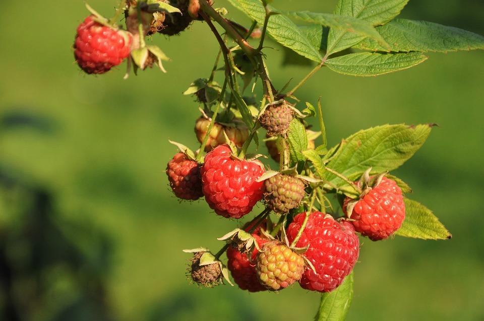 Raspberries, Fruit, Garden, Mature, Red, Healthy