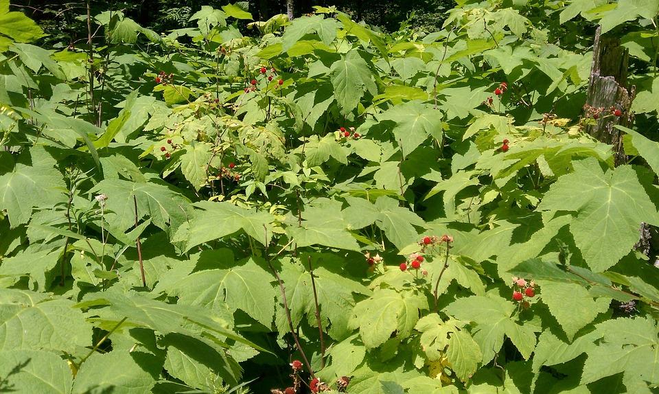 Raspberry, Berries, Wild, Organic, Vegetarian, Bushes