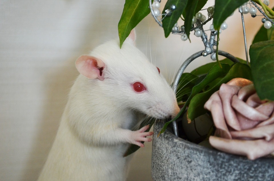 Rat, Albino, Animals, Pets, Flower, Plant