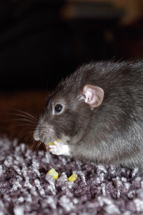 Rat, Cute, Eating, Pet, Rodent, Animal, Whisker, Fluffy