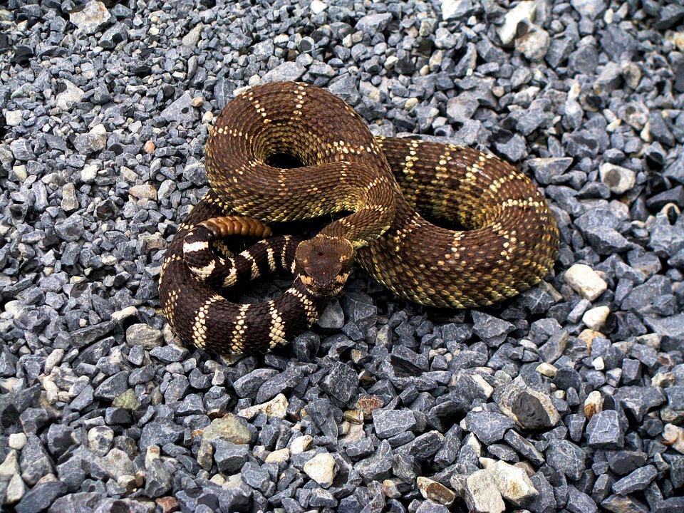 Rattle Snake, Rattlesnake, Diamond Back, Snake