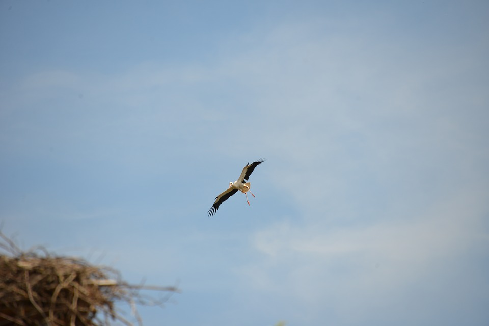 Stork, Bird, Animal, Rattle Stork, Nature, White Stork