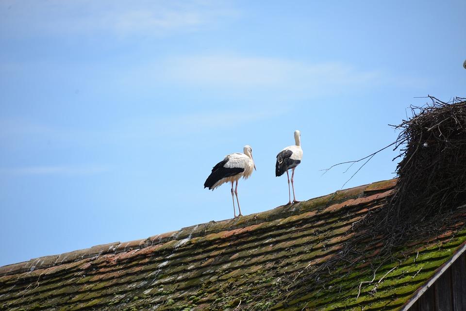 White Storks, Storks, Birds, Animals, Rattle Stork