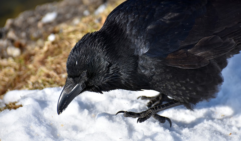 Common Raven, Raven, Snow, Winter, Cold, Raven Bird