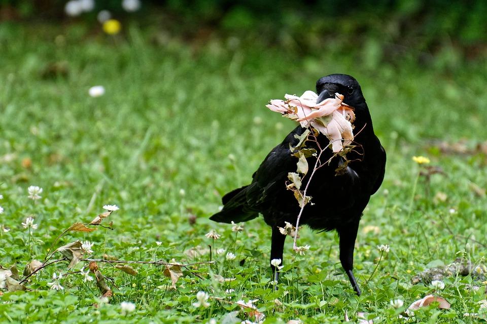 Raven, Crow, Raven Bird, Birds, Black, Eat, Food