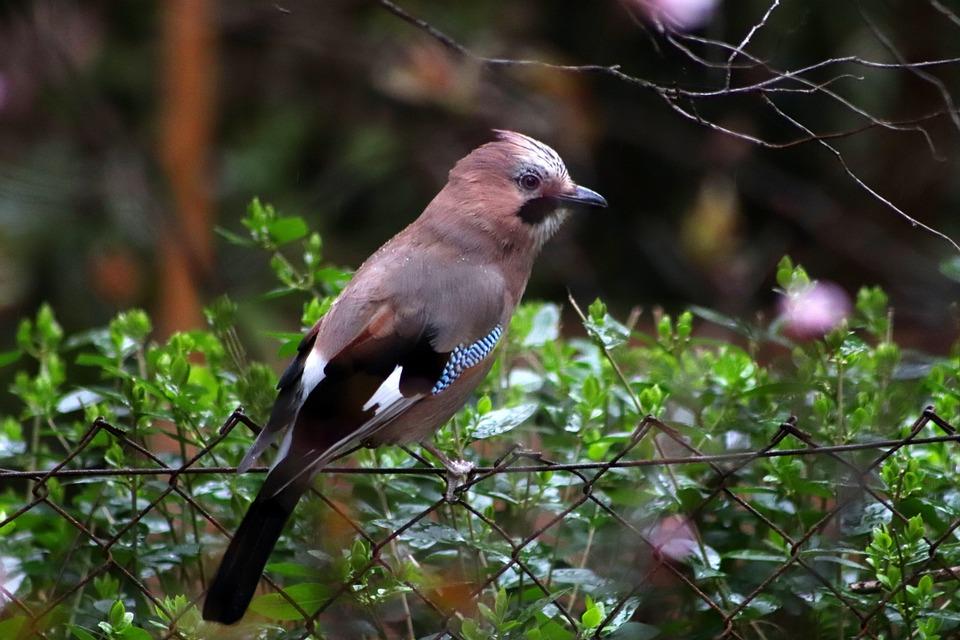 Jay, Raven Bird, Songbird, Bird, Plumage, Garden