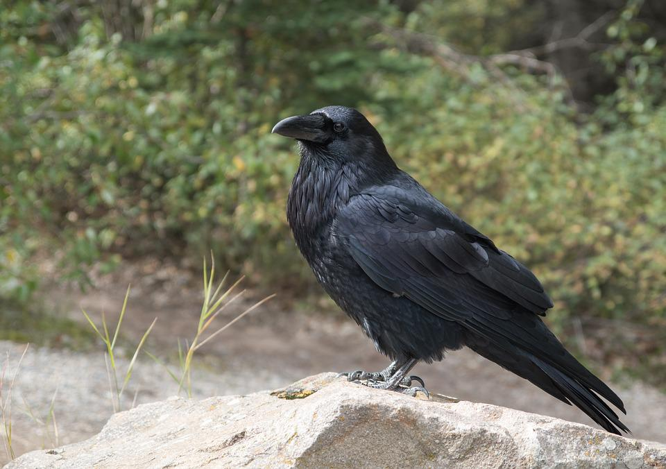 Raven, Crow, Bird, Black, Fly, Raven Bird, Animal World