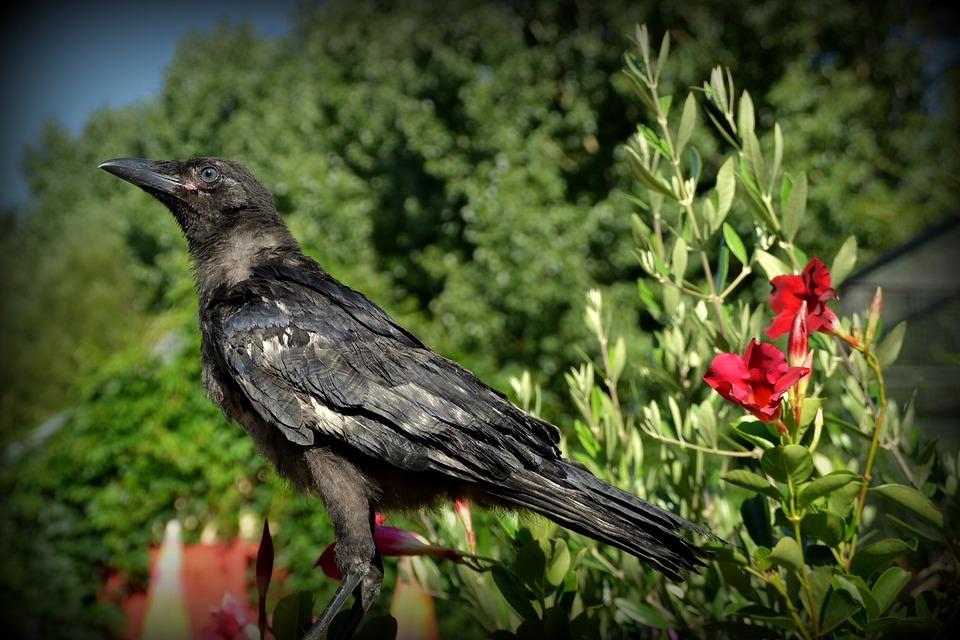 Corneille, Raven, Corbillat, Bird